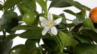 El kumquat fortunella margarita - Características