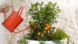 El kumquat fortunella margarita - Composición detalle