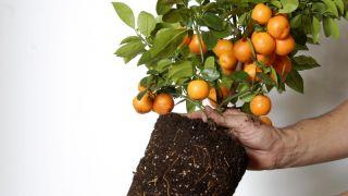 El kumquat fortunella margarita - Composición paso 1