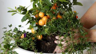El kumquat fortunella margarita - Composición paso 2