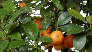 El kumquat fortunella margarita - Cuidados