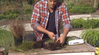 Cómo utilizar el carex en el jardín - División de mata