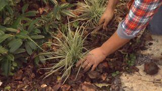 Cómo utilizar el carex en el jardín - Plantación en jardín