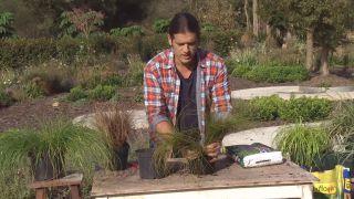 Cómo utilizar el carex en el jardín - Reproducción