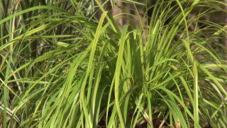 Cómo utilizar el carex en el jardín - Variedades para zonas sombrías