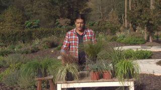 Carex comans y el carex testacea