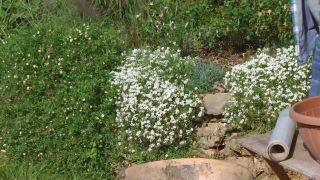Plantas para muros y paredes verticales - Lobularia snow princess
