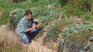 Plantas para muros y paredes verticales - Semillas Stachys lanata