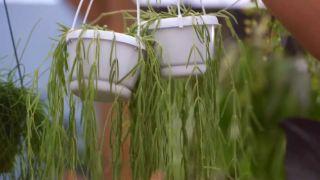 Composición con plantas colgantes que necesitan poca tierra - Hoya linearis