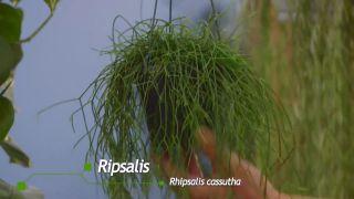 Composición con plantas colgantes que necesitan poca tierra - Rhipsalis