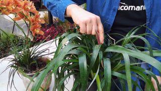 Cómo conseguir que una bromelia vuelva a florecer - Bromelias más rústicas