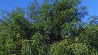 El taxodium mucronatum o ahuehuete - Características
