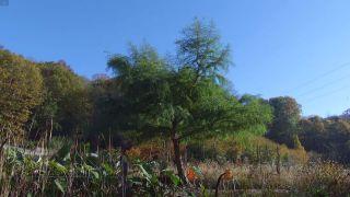 El taxodium mucronatum o ahuehuete - Ejemplares singulares