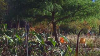 El taxodium mucronatum o ahuehuete - Reproducción