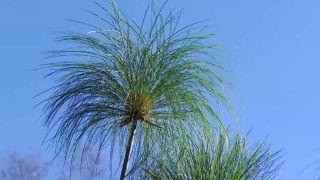 Cuidados del papiro durante el invierno - Características