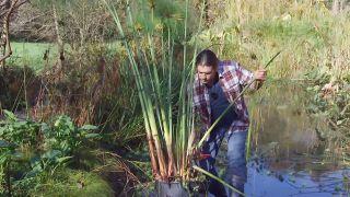 Cuidados del papiro durante el invierno - Aligerar la mata