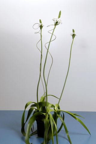 El ornithogalum thyrsoides cuidados y consejos - Características