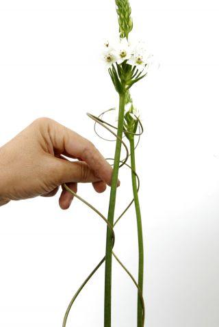 El ornithogalum thyrsoides cuidados y consejos - Cuidados
