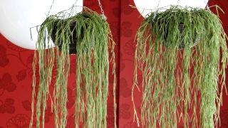 Plantación de hoya linearis en cestos colgantes - Detalle
