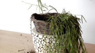 Plantación de hoya linearis en cestos colgantes - Paso 3