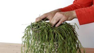 Plantación de hoya linearis en cestos colgantes - Paso 4