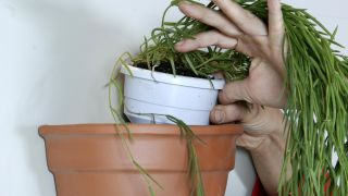 Plantación de hoya linearis en cestos colgantes - Paso 6