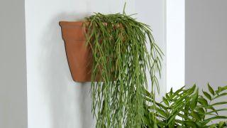 Plantación de hoya linearis en cestos colgantes - Paso 7