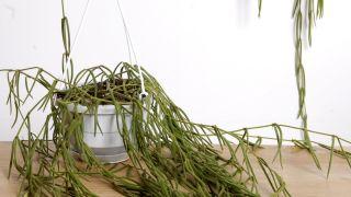 Plantación de hoya linearis en cestos colgantes - Planta