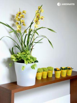 Composición floral con orquídea cymbidium amarillo y soleirolea - Detalle inicial