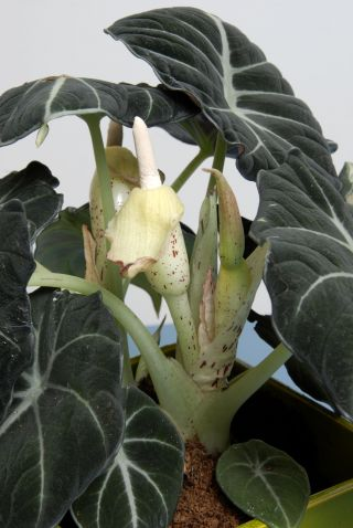 Alocasia Black Velvet - Flor