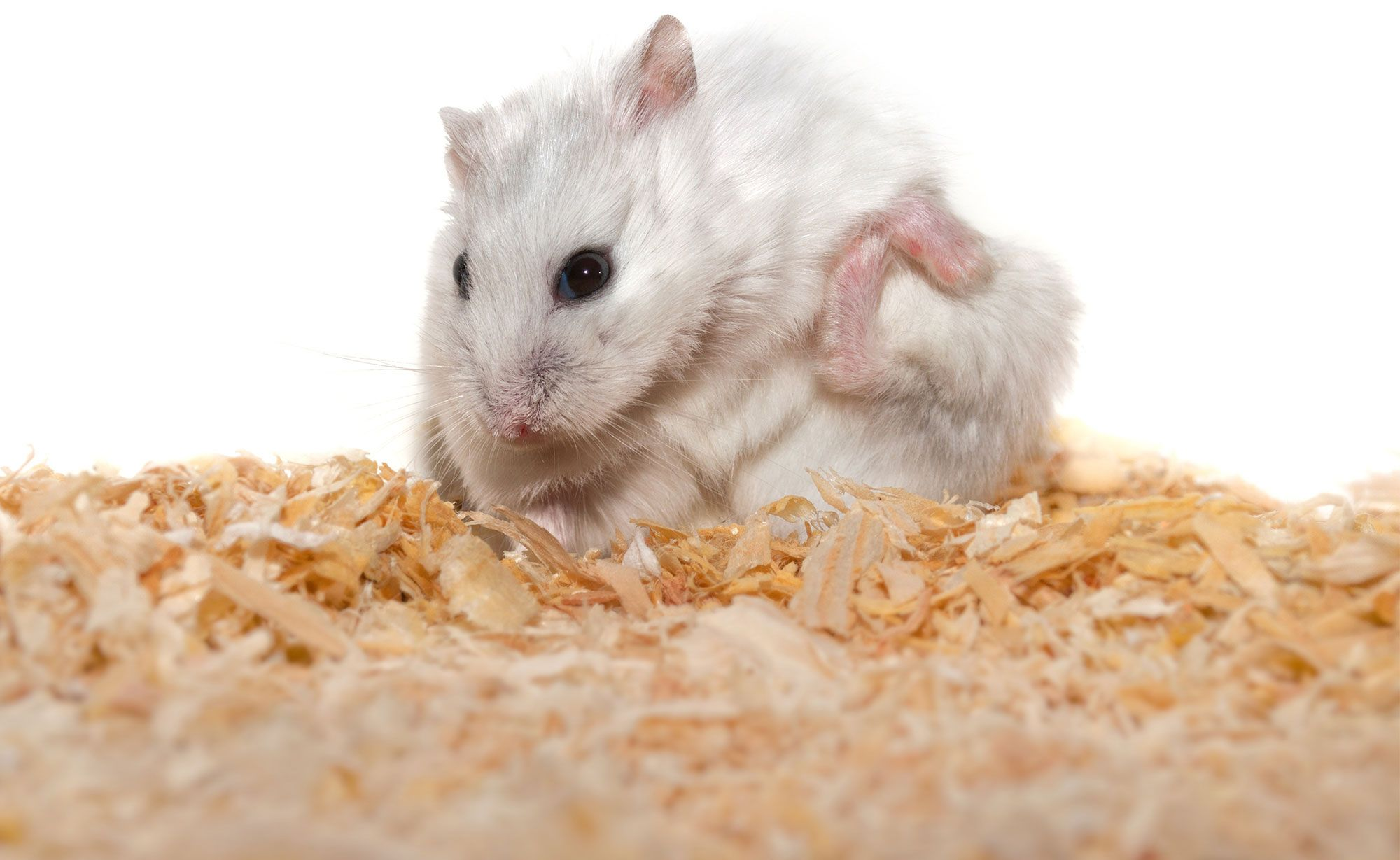 hamster piel