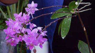 Tierra de diatomeas para eliminar la plaga de cochinilla - Orquídeas