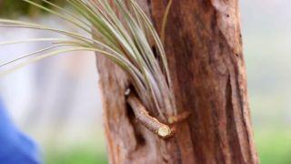 Composición con tillandsias o claveles del aire - Plantar los claveles en ramas