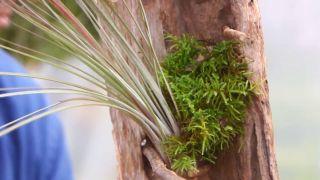 Composición con tillandsias o claveles del aire - Colocar musgos y líquenes