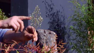 Variedades de nandinas - Nandina doméstica flor