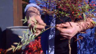 Variedades de nandinas - Nandina doméstica hojas