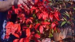 Variedades de nandinas - Hojas rojizas