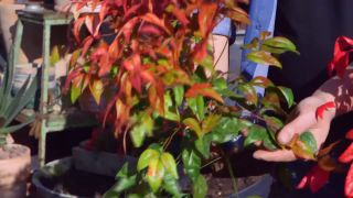 Variedades de nandinas - Hojas verdes