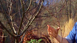 Cómo conseguir que tu manzano de más frutos - Dardos y lamburdas