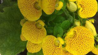 Calceolaria o zapatitos de Venus - Características