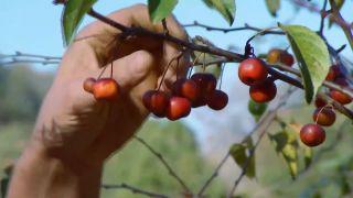 Recolectar bayas y frutos de invierno para hacer centros decorativos - Manzano Everest