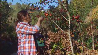 Recolectar bayas y frutos de invierno para hacer centros decorativos - Recolectar manzanas