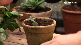 Cuidados del cactus de Navidad - Plantación