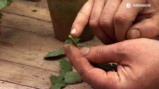 Cuidados del cactus de Navidad - Reproducción secar el corte