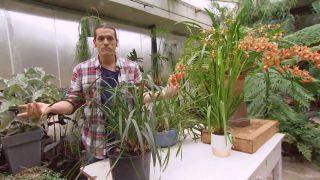 Orquídeas que florecen en invierno - Cymbidium sin flor
