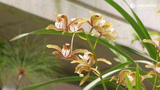 Orquídeas que florecen en invierno - Variedades de cymbidium