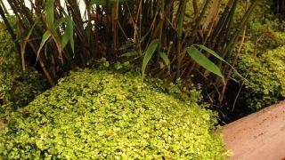 Centro de plantas con bambú fargesia y soleirolia - Detalle