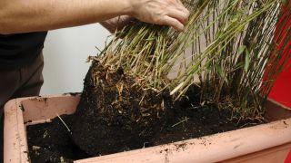 Centro de plantas con bambú fargesia y soleirolia - Paso 2