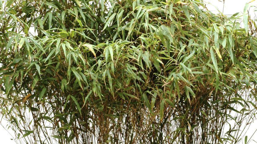Centro de plantas con bambú fargesia y soleirolia - Decogarden