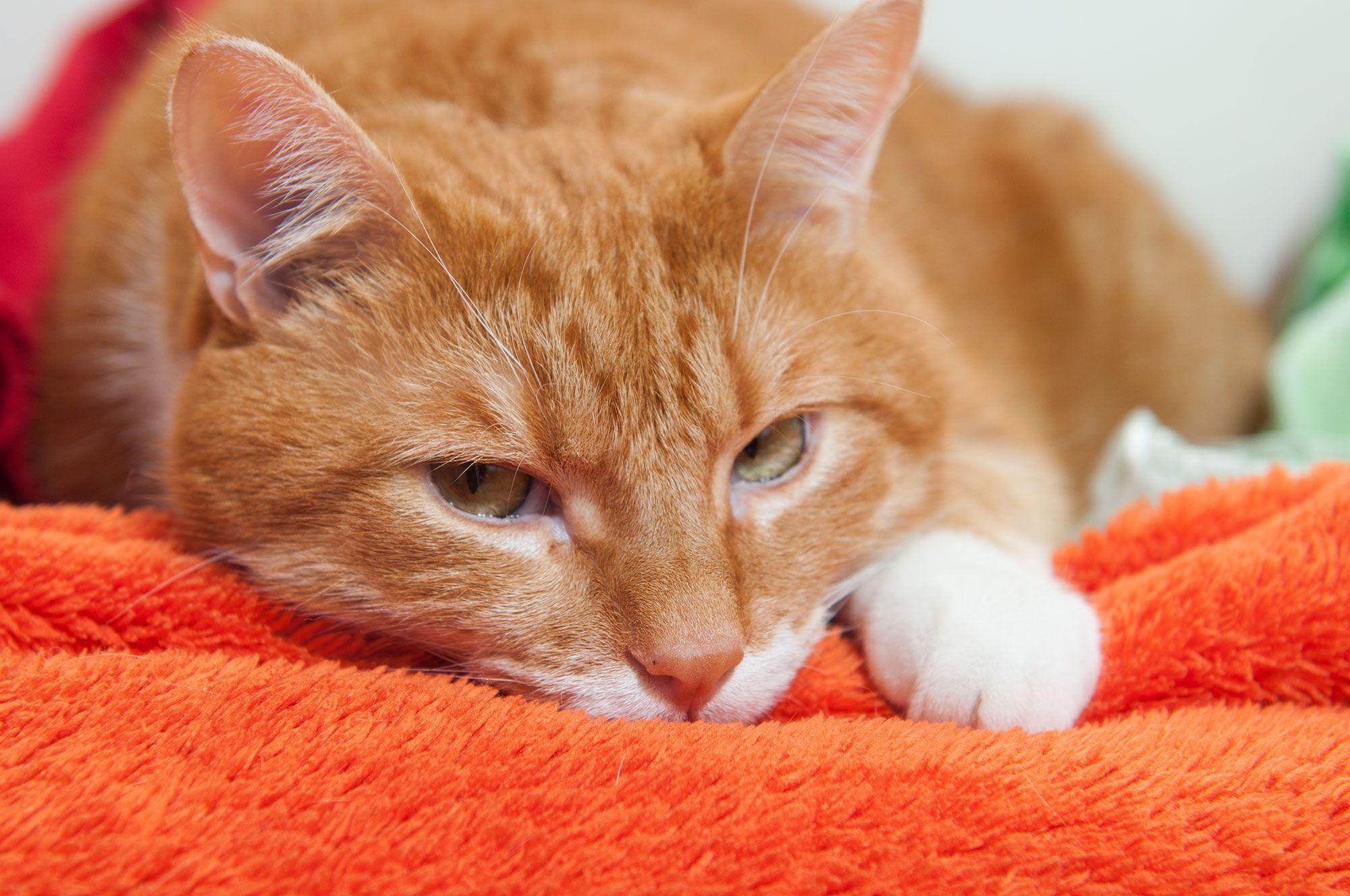 termómetro gatos